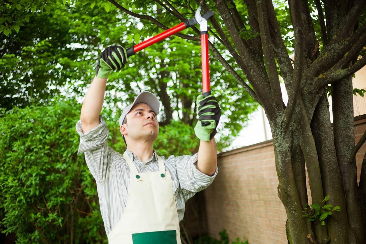 L'élagage raisonné permet de préserver la santé de l'arbre.