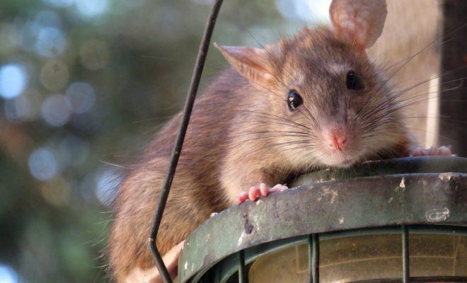 rats à éliminer