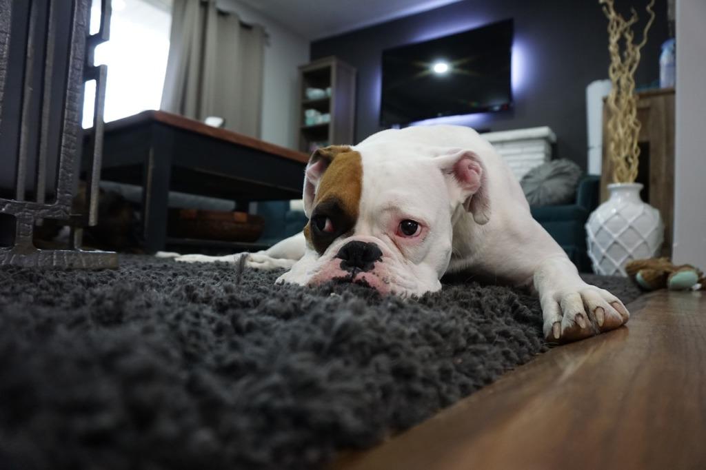 tache de bave de chien sur un tapis