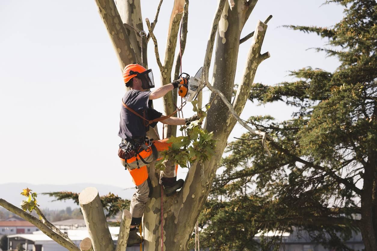 L'étêtage nuit à la santé de l'arbre.