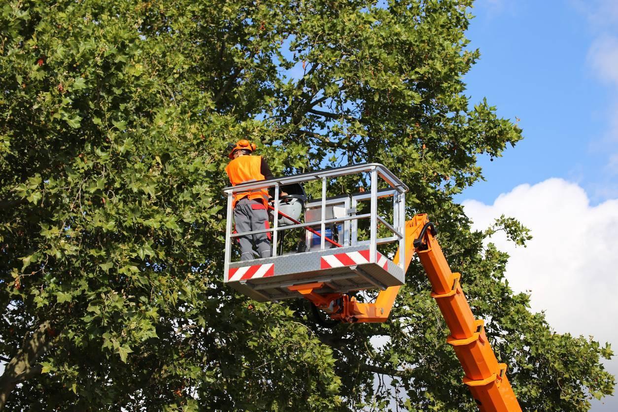 élagage d'un arbre par un professionnel